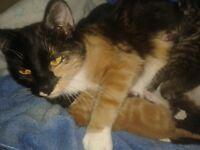 MISSING family cat