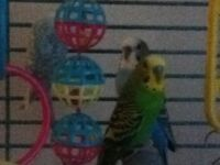 Budgie Birds for sale, with cage and everything for breeding.