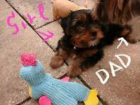 Unique BIEWER ( Parti) Yorkie / Yorkie puppies! REDUCED DUE HOLIDAYS