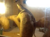 Male bearded dragon plus cage and food