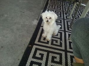 Young Male Maltese and Female Maltipoo For Sale