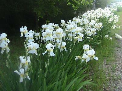 5 tall white bearded iris rhizome bulbs ...