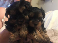 2 lovely little Yorkshire Terrier baby boy's