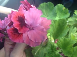 Geranium cuttings Heybridge Central Coast Preview