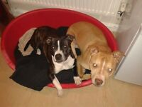 Male and Female staffies looking for their forever home!