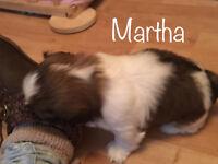 2 Pure breed female Shih Tzu puppies for sale.