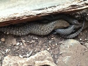 Cunningham skinks Lewiston Mallala Area Preview