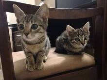 Rescue Kittens available for adoption! Brisbane City Brisbane North West Preview