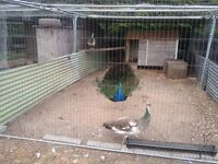 Peacocks and peahens