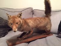 Taxidermy Fox