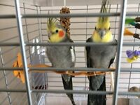 2 Young Male Cockatiels with Large Flight Cage