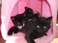 8 week old trained kittens for sale