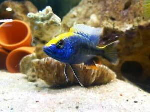🐠BEST AFRICANS CICHLIDS GUARANTED!!!!!!🐠 Balgowlah Manly Area Preview