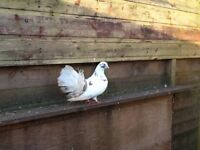 Fantails, white pigeons and coloured pigeons - male and female available