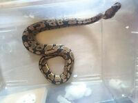 Selling 1 jungle Python, x2 ball pythons and boa constrictor individually or together..