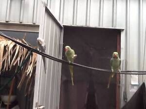 Wanted: Hand reared Male Indian ringneck Bullsbrook Swan Area Preview