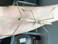 Adult Giant Budwing Stick insects for sale!