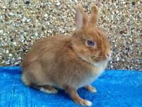 Dwarf rabbit & indoor cage