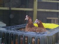 Ex Commercial egg laying hens
