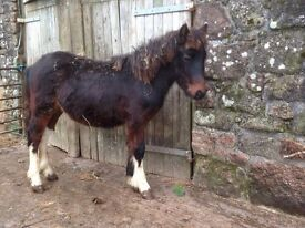Dartmoor Hill Colts For Sale