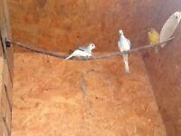 Pair of diamond doves