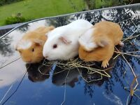 Female Baby Guinea Pigs