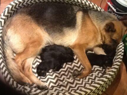 Germanshepherd pups