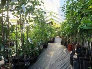 Fruit Trees - Massive Range