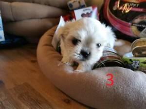 maltese shih tzu | Dogs & Puppies | Gumtree Australia Free