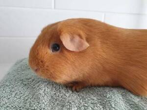 Gorgeous, well handled buff guinea pig female