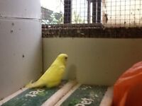 Lutino and whites budgies