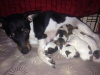 Jack Russell Cross puppies/ one boy left now ready 9th June