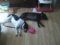 Staffy and Staffy x terrier for sale