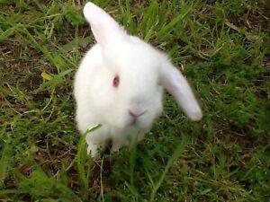 Rabbits, baby lop eared Murray Bridge Murray Bridge Area Preview