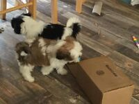 Lhasa apso pups. 9 weeks old