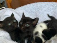 4 beautiful, semi long hair kittens, 3 girls and 1 boy