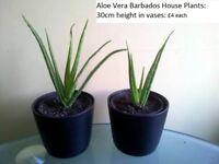 Aloe Vera Barbados Medicinal Plants in Vases