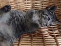 Grey Tabby kittens for sale