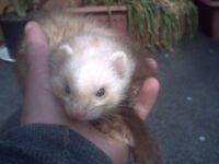 half micro ferrets for sale ple read Description