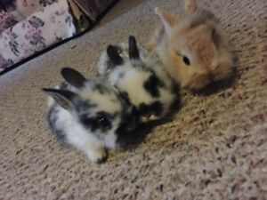 Baby Rabbits For Sale! Mixed Dwarf Lion Heads