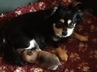 Extra Special Long Coated Full Pedigree Chihuahua Baby Boy
