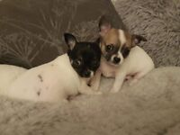 Two Chihuahua puppies ready to find new owners