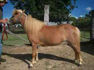 Small horse mini mare Inverell Inverell Area Preview
