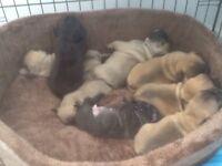 French Bulldog Puppies.......