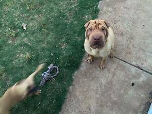 pure breed Shar pei Craigmore Playford Area Preview