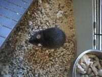 4 female rats for sale and optional cage