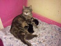 beautiful half maincoon kittens