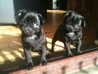 Gorgeous chunky Pug puppies for sale available end of august injections and chip included