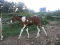 Hypo allergenic. Curley Colt