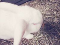 A Male White Rabbit, Free to good home